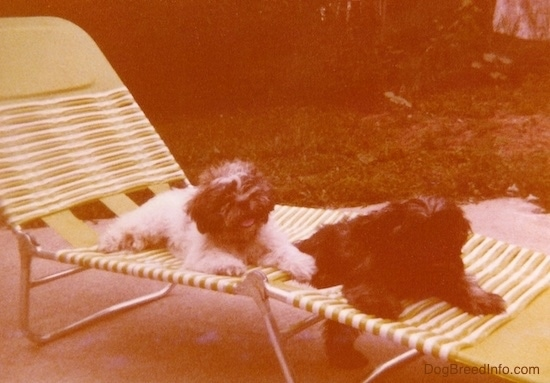 Two fluffy, thick-coated puppies with fuzzy ears that hang down to the sides, black noses and found heads laying down on a green and white lawn chair outside on a cement patio. One dog is white with brown and has its pink tongue showing and the other dog is brown with black.