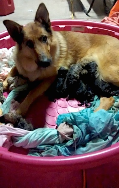 A tan with black large breed dog with a thick coat and a long muzzle laying down in a hot pink kiddy pool full of blankets with a litter of newborn puppies.