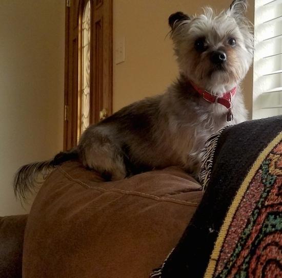 Puppy On Dark Brown Couch