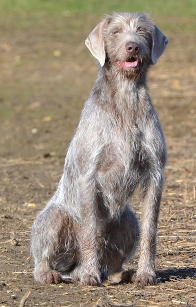Front view - A wiry grey Slovakian Rough Haired Pointer dog sitting in dirt looking forward with its mouth open and tongue out. It has ears that hang down to the sides and silver eyes.