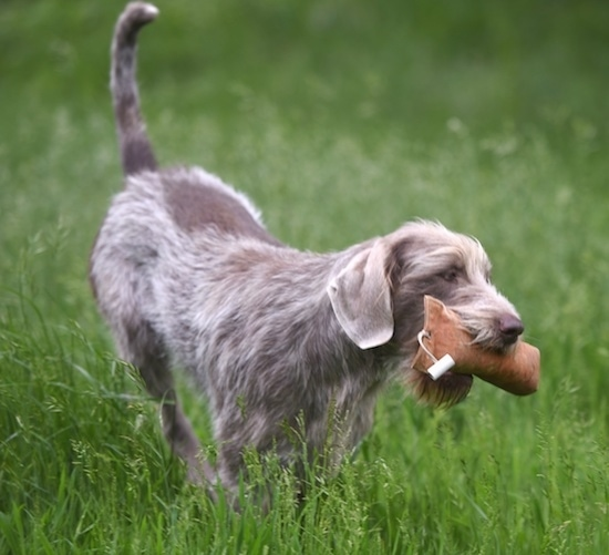 Front side view - A large breed gray and brown patterned dog walking in a field of tall grass with a plush toy in its mouth. It has a medium langth coat with shorter hair on its ears. The dog's tail is up in the air.