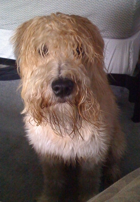 Front view - A wet looking, tan Soft Coated Wheaten Terrier dog is laying down on a bed looking forward. The dog has longer hair on its face that covers up its eyes and a big black nose.