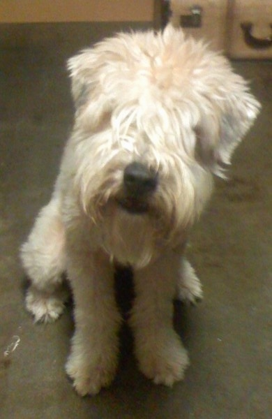 Front view - A tan Soft Coated Wheaten Terrier dog is sitting across a carpet with its head slightly tilted to the right looking forward. The dog has longer hair on its face that covers up its eyes and a big black nose. The dog has a beard.