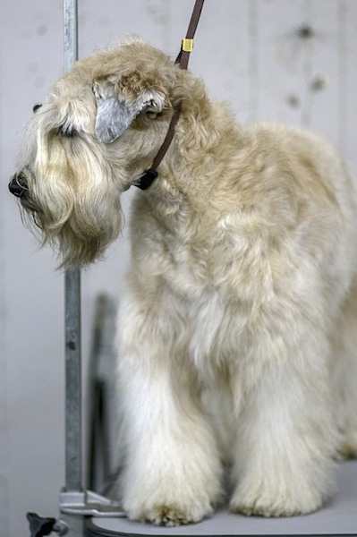 Front side view of a soft furry dog with along beard and short v-shaped ears that hang down to the sides. The dog has a black nose and a wavy coat on its head. Its long eye-brows are covering up its eyes. There is a show dog lead around its neck holding up its head.