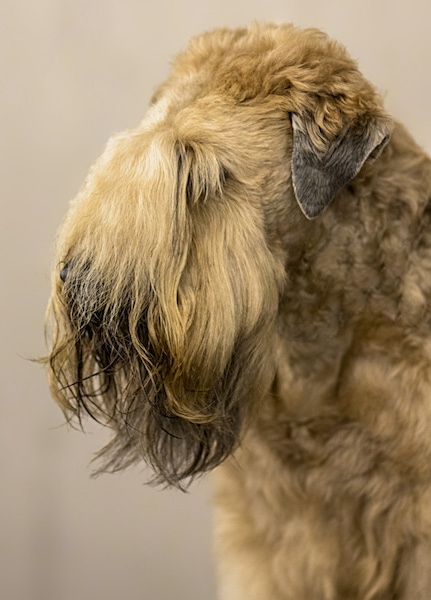 Side view of a soft furry dog with along beard and short v-shaped ears that hang down to the sides. The hair on the dogs snout and stop is so long you cannot see the eyes, nose or the muzzle and the dog has a beard. It has a thick wavy coat.