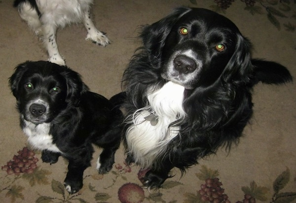 Two black and white dogs with medium length hair sitting on a tan capret that has purple grapes on it looking up at the camera. One dog is a puppy and the other is an adult.