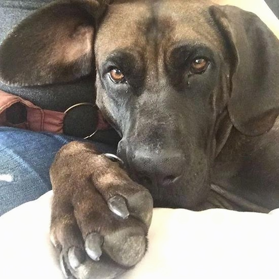 Close up head shot of a brown and black large breed dog with sleepy brown eyes and a huge front paw laying down on a person's lap who is wearing blue jeans. One ear is folded over and the other is sticking out to the side.