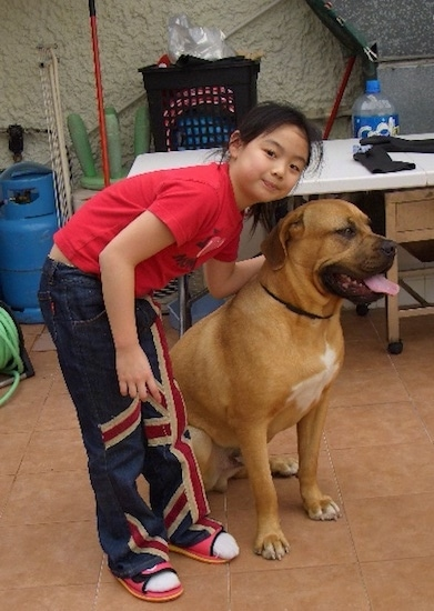A little girl in a red shirt leaning over an extra large reddish tan dog with a wide chest with white on it. The dog has a black muzzle, black lips, dark rimmed eyes and a thin black collar.