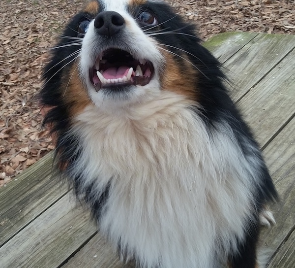 Front view of a small, fluffy little tricolor white, black and tan dog with a fluffy white chest, a black nose and dark brown eyes sitting down outside on a wooden deck with its mouth open and teeth showing. Its ears are pinned back against its head.
