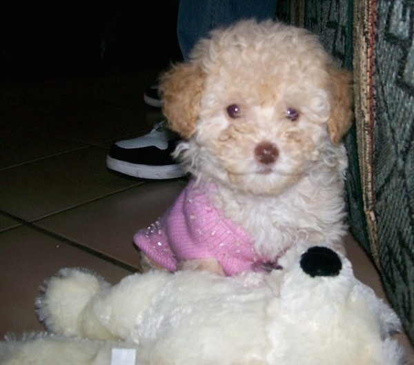 Front view - A curly coated, fluffy little tan dog with a brown nose wearing a pink sweater sitting in front of a white stuffed toy. It has wide round eyes and darker ears with a lighter body.