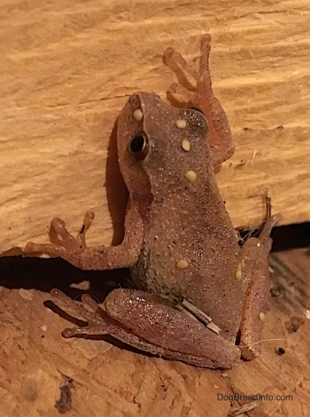 A small brown frog with yellow wart like spots on it and large long fingers that stick to walls about to climb up a log.
