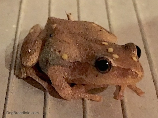 Front side view - A small brown frog with yellow wart like spots on it sitting on a wooden deck. The frog has round black eyes and long fingers on its toes.