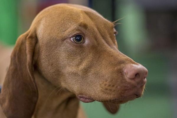 Close up - The front right side of a tan with white Vizsla that is standing outside and it is looking to the right. The dog has light brown eyes and a brown nose.