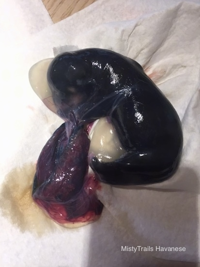 A wet slimy looking tiny puppy inside of its sac with the blob of a red placenta attached.