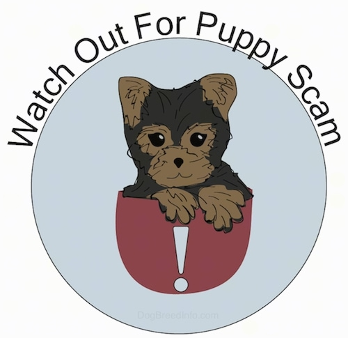 A drawn image of a cute little brown and tan Yorkshire Terrier puppy sitting in a red cup that has a white exclamation mark inside of a blue circle with its front paws over the edge. The words 'Watch Out For Puppy Scam' are written across the top of the image.