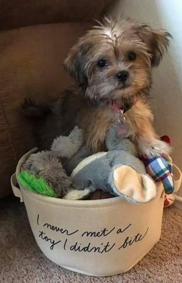 A fluffy soft looking little tan and black puppy sitting in a tan bucket that reads 'I never met a toy I did not bite' The puppy is sitting on top of a pile of toys. Its nose is black and its small furry v-shaped ears are hanging down to the sides of its head.