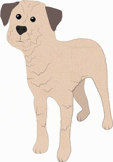 A drawing of a small tan terrier, scruffy looking dog with darker tan ears, a black nose and wide round black eyes standing looking forward.