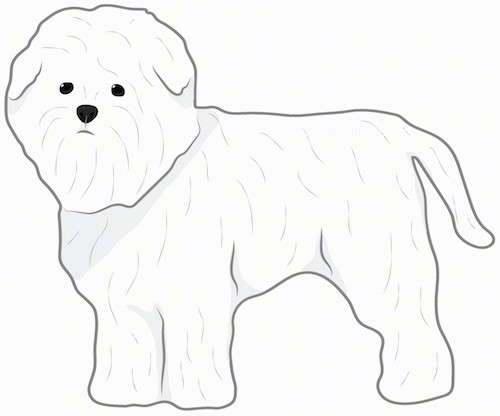 Side view drawing of a thick coated, small white dog with little ears that hang down to the sides, a lot of thick fur on the face that makes the dog look like a monkey a black nose and dark round eyes with a tail that hangs down standing up.