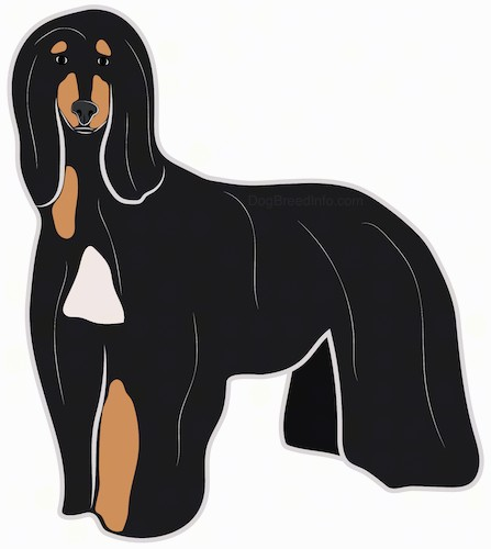 Side view - a drawing of a large breed black and tan dog with white patches and a very long flowing coat that reaches the ground with long ears that hang down to the sides standing.