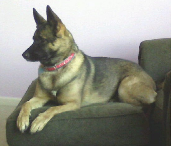A brown and black dog with large perk ears and a thick coat wearing a red collar laying down on a green chair facing the left. The dog has a long snout, a blak nose and dark eyes.