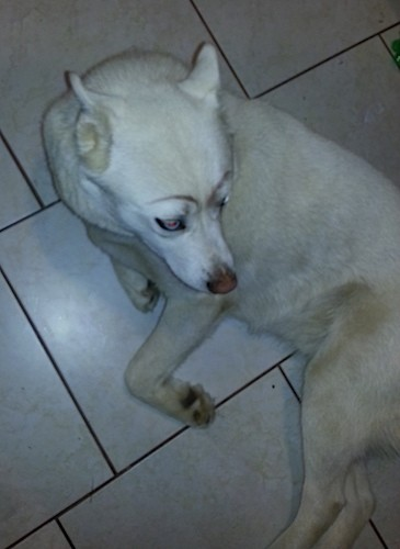 View from the top looking down at a thick coated, white dog with perk ears that are pinned back, a brown nose and black eye rims with blue eyes laying down on a white tiled floor.