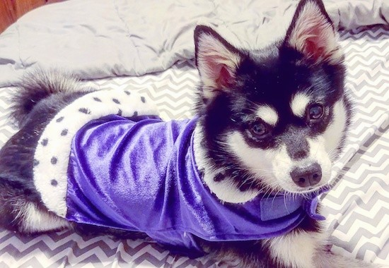 A black and white dog with a symmetrical face and white spots above each eye wearing a purple shirt laying down on a person's bed.