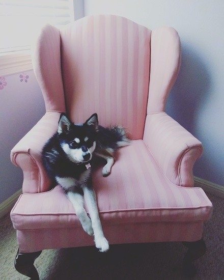 A small black and white dog with small perk ears a black nose and a symmetrical face with a black forehead and white spots above each eye with a white muzzle and a black line on top laying down on a pink arm chair inside of a house.