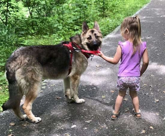 A thick double coated dog with perk ears, a long black muzzle, dark eyes and a black nose wearing a red harness standing on black pavement with a little girl dressed in purple holding onto him.
