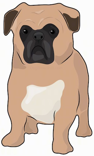 Front view of a drawing of a tan, white and black small muscular dog with a thick body, a large round head, big round eyes and small ears that hang down to the sides standing.
