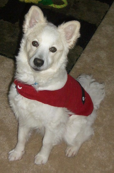List Of American Eskimo Mix Breed Dogs