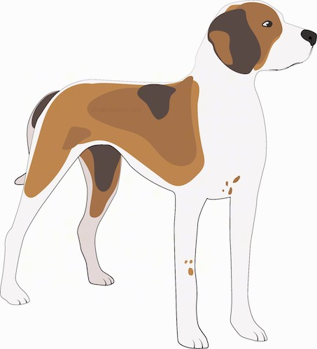 A drawing of a tri color brown, tan and white hound tall dog with a black nose and dark eyes standing and looking forward. The dogs legs are white with some brown ticking patterns and the tail is long and being held low.