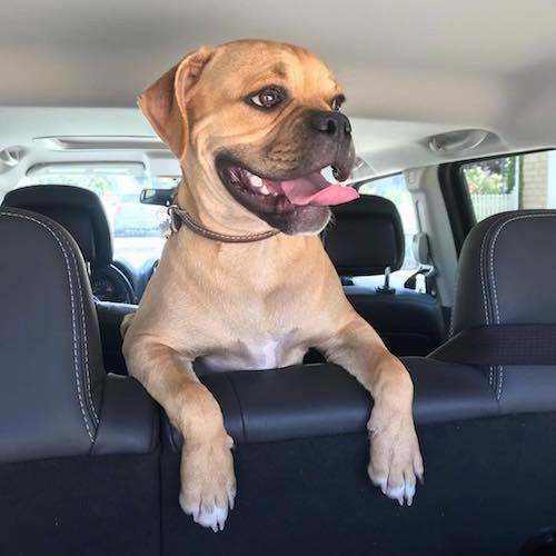 A tan dog with a black muzzle and a little white on his chest and tips of his paws with his front legs over the back seat inside of a car looking to the right with his tongue sticking out.