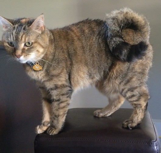 A tiger patterned cat with gray, black and tan coloring standing on a black stool. The cat has a thick soft coat and a long tail that curls in a ring tightly up and over its back. She is wearing a yellow tag shaped like a fish.