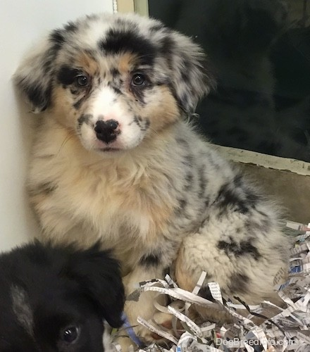 A soft thick-coated, fluffy, white puppy with black, tan and gray patches and spots with ears that hang down to the sides and a small black nose with pink on it sitting on newspaper shavings in front of a black puppy.