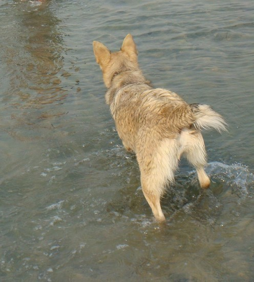 View from behind looking at a tan dog with a short tail standing in and looking into a body of brown water. The dog has a thick coat and large perk ears.