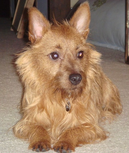 Front view of a small tan dog with fringe hair coming from his face and chin with longer hair on his back and shorter hair on his head, large perk ears, wide round brown eyes and a dark nose laying down on a tan carpet looking to the right.