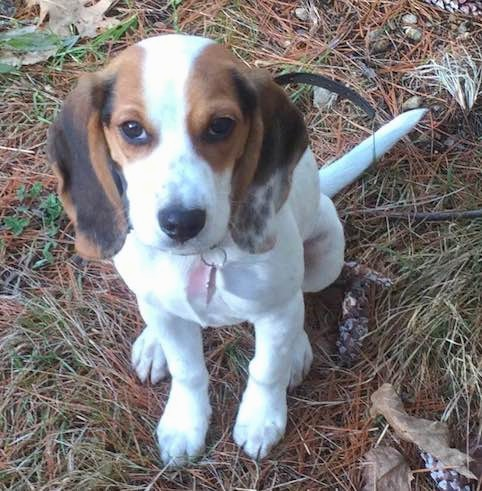 A small tricolor hound dog puppy with long soft drop ears that hang down to the sides sitting outside on pine needles.