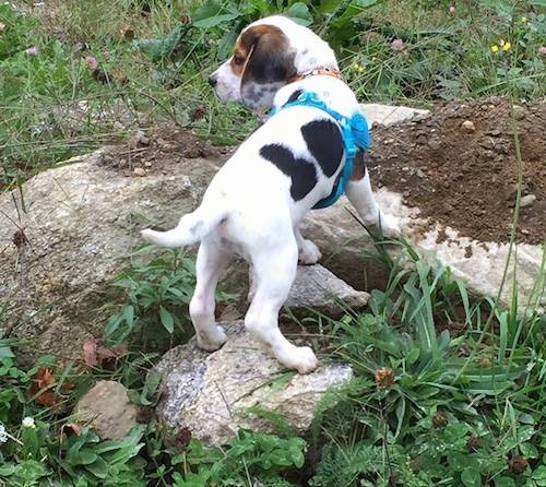 Back view of a white, black and tan tricolor hound looking puppy with long soft drop ears that hang down to the sides, a black nose, dark eyes and a long white tail standing up on rocks outside in grass. The pup is wearing a teal blue bandanna.