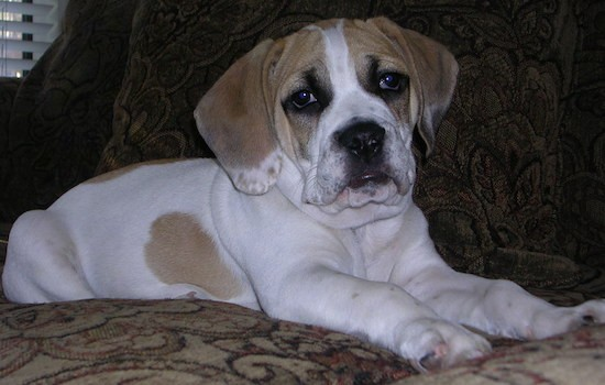 List Of Bulldog Mix Breed Dogs