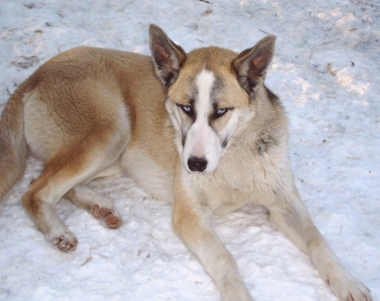 A thick coated tricolor tan, white and black dog with large perk ears, a long muzzle, a black nose and blue eyes laying down in snow looking up with its eyes.