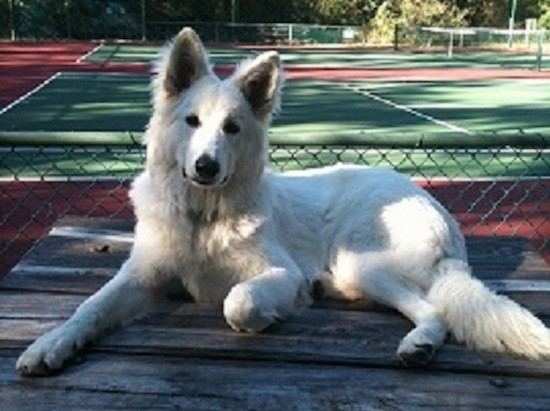 A large white shepherd dog laying down on a picnic table in front of a tennis court