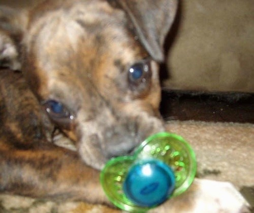 A small brown brindle with black puppy laying down on a tan carpet sucking on a green and blue pacifier. The dog's nose is black, his wide round eyes are brown and his front paws have white on the tips.