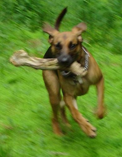 A large breed black and tan short haired dog running in grass with a large log in her mouth. Her ears are flying back and her tail is long and up.