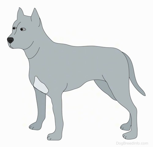 A side view drawing of a gray dog with a lighter patch of gray on its chest, small cropped perk ears, small almond shaped eyes, a black nose and a muscular head with extra skin on its neck and a long tail that is being held down relaxed and low.