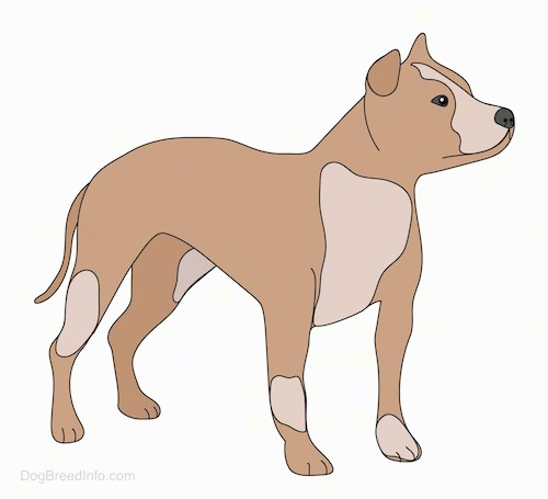 Front side view of a drawing of a brown and tan dog with small ears that fold over in a v-shape in the front, a black nose, a long tail that is being held down low with a wide chest and a muscular body.