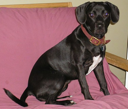 A thick muscular black dog with white on her chest, black soft shiny ears that hang down to the sides, dark round eyes, a long black tail and a black nose and lips sitting down on a fuchsia colored couch wearing a thick red collar.