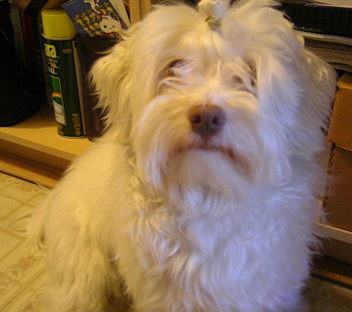 Front view of a long, thick, wavy, soft looking white dog with a brown nose and long hair covering up her eyes with a band holding up some of her top knot and ears that hang down to the sides sitting down on a white tiled floor in front of a shelf.