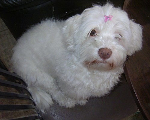 -A small, soft thick coated white dog wiht a brown-liver colored nose and wide round eyes that are covered up by her long hair wearing a pink bow on her head sitting down looking up.