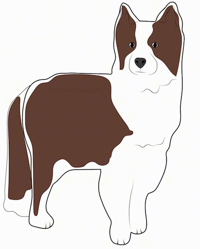 A drawing of a brown and white perk eared dog with a thick coat, long fluffy tail, black eyes and black nose standing.