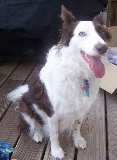A white and brown dog with a long muzzle, a brown nose, brown perk ears, one blue eye and one brown eye, a white snout and white body with patches of brown on her back and a fluffy tail sitting down outside on a wooden deck with her pink tongue hanging out.